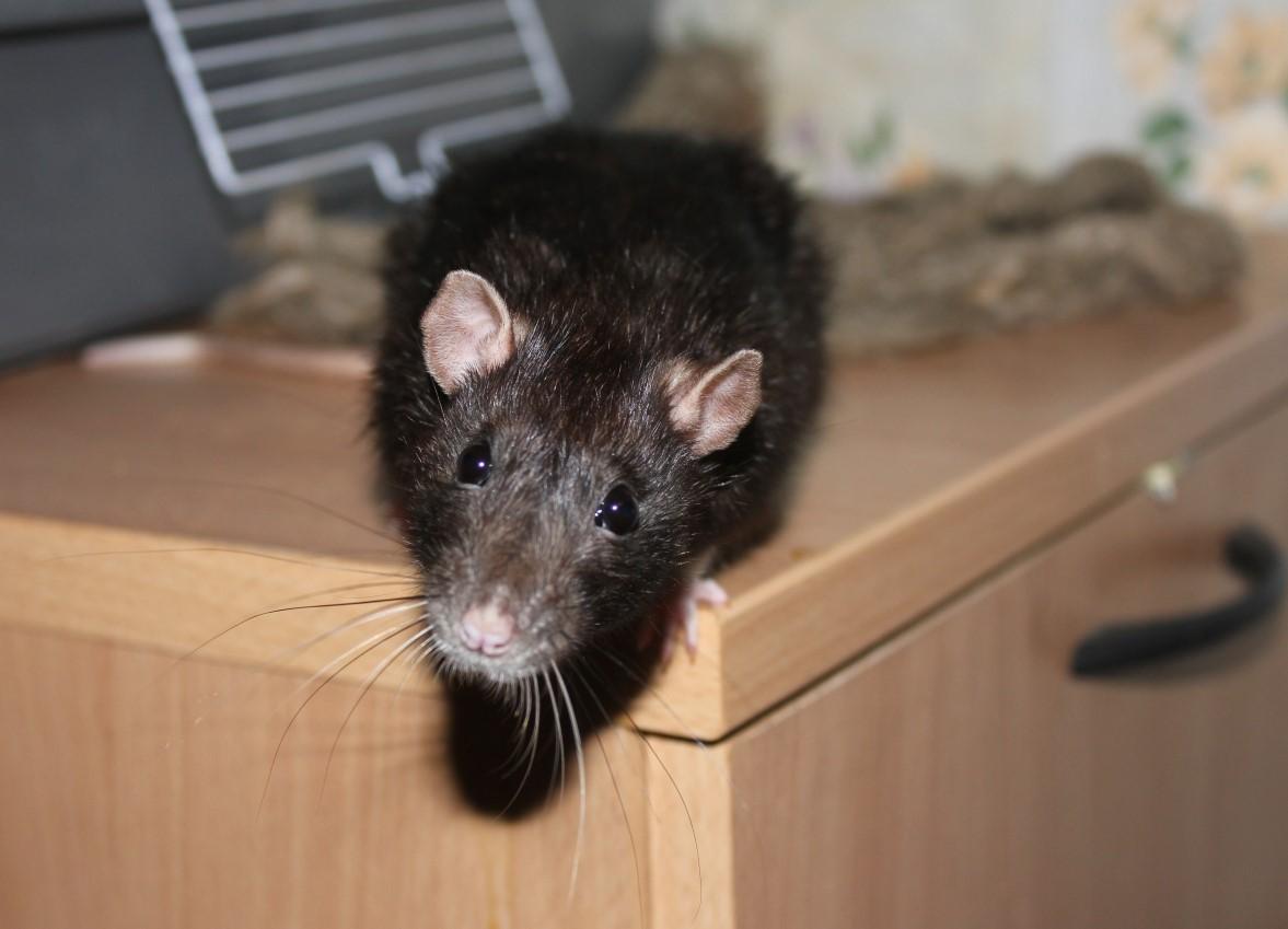 В квартире появилась крыса что делать