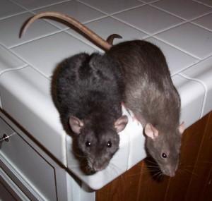 Эффективный способ ловли крыс
