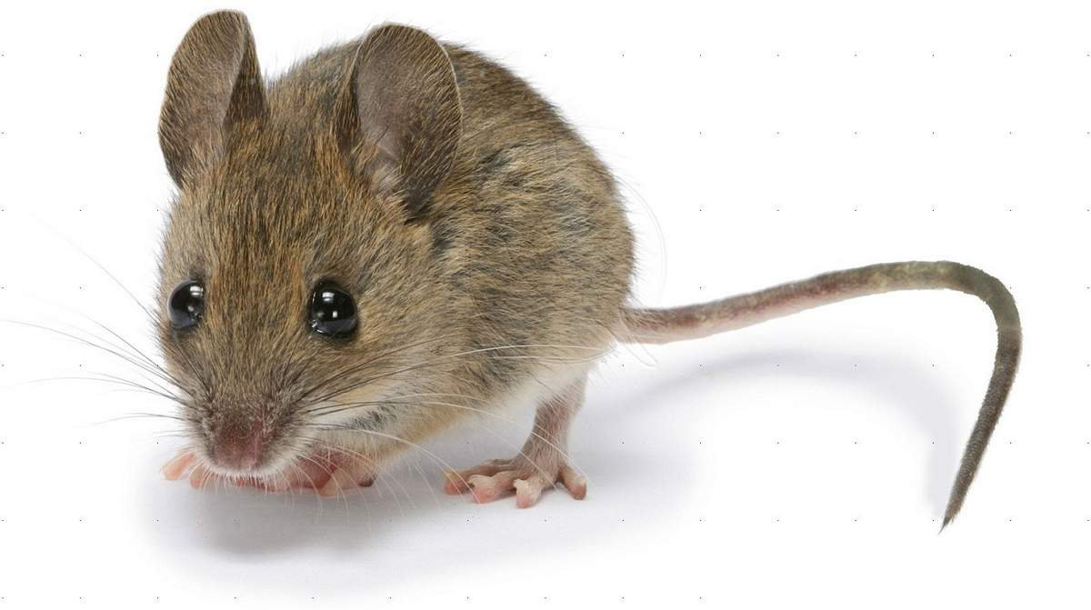 Какие запахи не любят мыши: мята, уксус, полынь, хлорка и другие