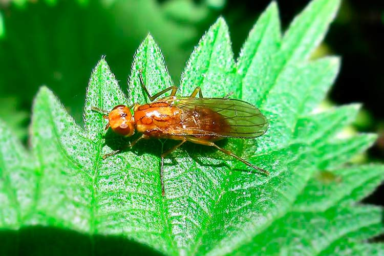 Борьба с морковной мухой на грядке