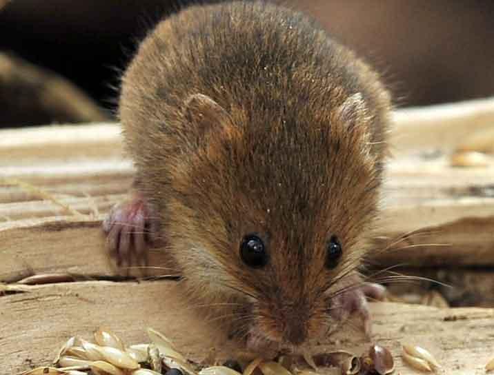 Какой запах не любят мыши, гуманный способ борьбы с грызунами