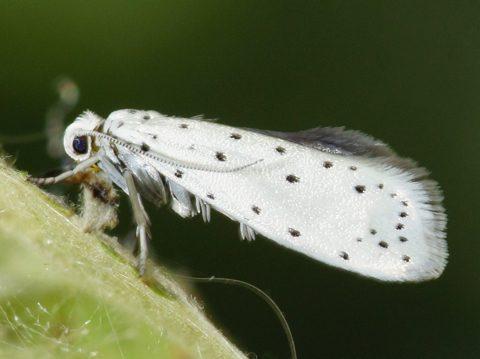Борьба с яблонной молью