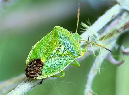 Зеленый клоп садовый. Фото. Как избавиться от вредителя?