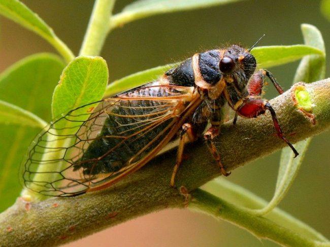 Что делают цикады